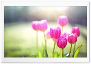 Spring Tulips, Sunshine HD Wide Wallpaper for Widescreen