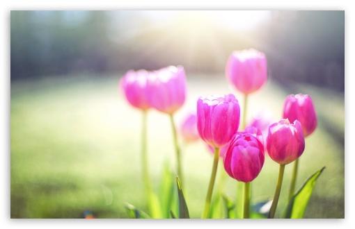 Download Spring Tulips, Sunshine HD Wallpaper