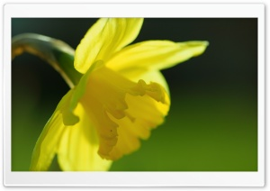 Spring Yellow Daffodil HD Wide Wallpaper for Widescreen