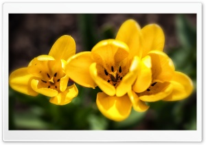 Spring Yellow Tulips Flowers HD Wide Wallpaper for 4K UHD Widescreen desktop & smartphone