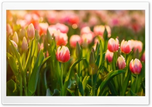 Springtime Tulips Flowers HD Wide Wallpaper for 4K UHD Widescreen desktop & smartphone