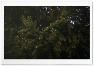Spruce HD Wide Wallpaper for Widescreen