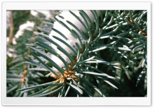 Spruce Needles HD Wide Wallpaper for Widescreen