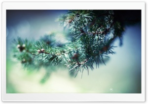 Spruce Needles Macro HD Wide Wallpaper for Widescreen