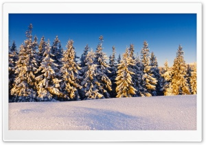 Spruce Trees Covered In Snow HD Wide Wallpaper for 4K UHD Widescreen desktop & smartphone