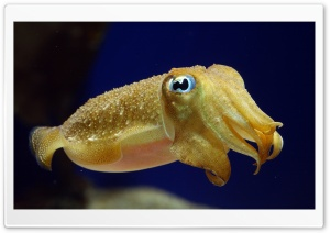 Squid Underwater HD Wide Wallpaper for Widescreen