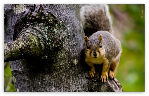Squirrel HD wallpaper for Standard 4:3 5:4 Fullscreen UXGA XGA SVGA QSXGA SXGA ; Wide 16:10 5:3 Widescreen WHXGA WQXGA WUXGA WXGA WGA ; HD 16:9 High Definition WQHD QWXGA 1080p 900p 720p QHD nHD ; Other 3:2 DVGA HVGA HQVGA devices ( Apple PowerBook G4 iPhone 4 3G 3GS iPod Touch ) ; Mobile VGA WVGA iPhone iPad PSP Phone - VGA QVGA Smartphone ( PocketPC GPS iPod Zune BlackBerry HTC Samsung LG Nokia Eten Asus ) WVGA WQVGA Smartphone ( HTC Samsung Sony Ericsson LG Vertu MIO ) HVGA Smartphone ( Apple iPhone iPod BlackBerry HTC Samsung Nokia ) Sony PSP Zune HD Zen ; Tablet 2 ;
