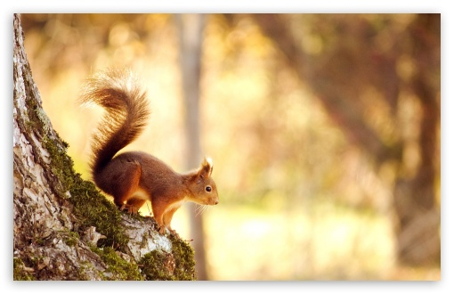 Squirrel ❤ 4K UHD Wallpaper for Wide 16:10 5:3 Widescreen WHXGA WQXGA WUXGA WXGA WGA ; 4K UHD 16:9 Ultra High Definition 2160p 1440p 1080p 900p 720p ; Standard 4:3 5:4 3:2 Fullscreen UXGA XGA SVGA QSXGA SXGA DVGA HVGA HQVGA ( Apple PowerBook G4 iPhone 4 3G 3GS iPod Touch ) ; Tablet 1:1 ; iPad 1/2/Mini ; Mobile 4:3 5:3 3:2 16:9 5:4 - UXGA XGA SVGA WGA DVGA HVGA HQVGA ( Apple PowerBook G4 iPhone 4 3G 3GS iPod Touch ) 2160p 1440p 1080p 900p 720p QSXGA SXGA ;