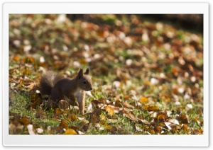 Squirrel, Autumn HD Wide Wallpaper for 4K UHD Widescreen desktop & smartphone