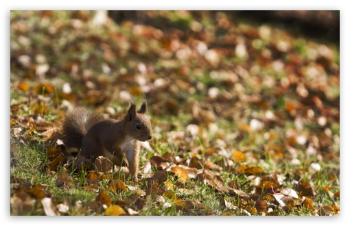 Squirrel, Autumn HD wallpaper for Wide 16:10 5:3 Widescreen WHXGA WQXGA WUXGA WXGA WGA ; HD 16:9 High Definition WQHD QWXGA 1080p 900p 720p QHD nHD ; Standard 4:3 5:4 3:2 Fullscreen UXGA XGA SVGA QSXGA SXGA DVGA HVGA HQVGA devices ( Apple PowerBook G4 iPhone 4 3G 3GS iPod Touch ) ; Tablet 1:1 ; iPad 1/2/Mini ; Mobile 4:3 5:3 3:2 16:9 5:4 - UXGA XGA SVGA WGA DVGA HVGA HQVGA devices ( Apple PowerBook G4 iPhone 4 3G 3GS iPod Touch ) WQHD QWXGA 1080p 900p 720p QHD nHD QSXGA SXGA ; Dual 16:10 5:3 16:9 4:3 5:4 WHXGA WQXGA WUXGA WXGA WGA WQHD QWXGA 1080p 900p 720p QHD nHD UXGA XGA SVGA QSXGA SXGA ;