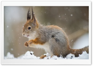 Squirrel In A Snowfall Ultra HD Wallpaper for 4K UHD Widescreen desktop, tablet & smartphone