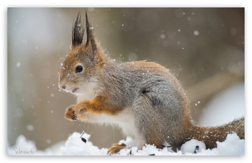 Squirrel In A Snowfall HD wallpaper for Wide 16:10 5:3 Widescreen WHXGA WQXGA WUXGA WXGA WGA ; HD 16:9 High Definition WQHD QWXGA 1080p 900p 720p QHD nHD ; UHD 16:9 WQHD QWXGA 1080p 900p 720p QHD nHD ; Standard 4:3 5:4 3:2 Fullscreen UXGA XGA SVGA QSXGA SXGA DVGA HVGA HQVGA devices ( Apple PowerBook G4 iPhone 4 3G 3GS iPod Touch ) ; Tablet 1:1 ; iPad 1/2/Mini ; Mobile 4:3 5:3 3:2 16:9 5:4 - UXGA XGA SVGA WGA DVGA HVGA HQVGA devices ( Apple PowerBook G4 iPhone 4 3G 3GS iPod Touch ) WQHD QWXGA 1080p 900p 720p QHD nHD QSXGA SXGA ;