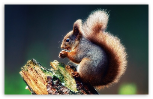 Squirrel Praying HD wallpaper for Standard 4:3 5:4 Fullscreen UXGA XGA SVGA QSXGA SXGA ; Wide 16:10 5:3 Widescreen WHXGA WQXGA WUXGA WXGA WGA ; HD 16:9 High Definition WQHD QWXGA 1080p 900p 720p QHD nHD ; Other 3:2 DVGA HVGA HQVGA devices ( Apple PowerBook G4 iPhone 4 3G 3GS iPod Touch ) ; Mobile VGA WVGA iPhone iPad PSP Phone - VGA QVGA Smartphone ( PocketPC GPS iPod Zune BlackBerry HTC Samsung LG Nokia Eten Asus ) WVGA WQVGA Smartphone ( HTC Samsung Sony Ericsson LG Vertu MIO ) HVGA Smartphone ( Apple iPhone iPod BlackBerry HTC Samsung Nokia ) Sony PSP Zune HD Zen ; Tablet 2 Android ;