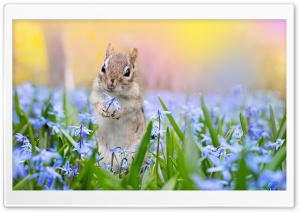 Squirrel, Scilla Flowers, Springtime HD Wide Wallpaper for 4K UHD Widescreen desktop & smartphone