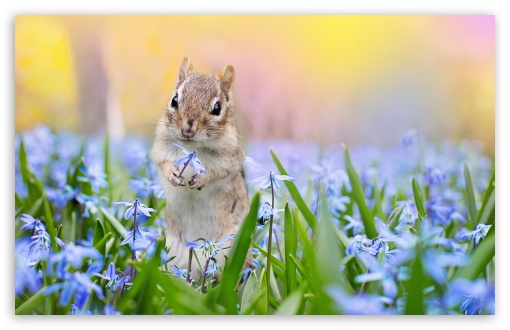 Squirrel, Scilla Flowers, Springtime ❤ 4K UHD Wallpaper for Wide 16:10 5:3 Widescreen WHXGA WQXGA WUXGA WXGA WGA ; UltraWide 21:9 24:10 ; 4K UHD 16:9 Ultra High Definition 2160p 1440p 1080p 900p 720p ; UHD 16:9 2160p 1440p 1080p 900p 720p ; Standard 4:3 5:4 3:2 Fullscreen UXGA XGA SVGA QSXGA SXGA DVGA HVGA HQVGA ( Apple PowerBook G4 iPhone 4 3G 3GS iPod Touch ) ; Smartphone 16:9 3:2 5:3 2160p 1440p 1080p 900p 720p DVGA HVGA HQVGA ( Apple PowerBook G4 iPhone 4 3G 3GS iPod Touch ) WGA ; Tablet 1:1 ; iPad 1/2/Mini ; Mobile 4:3 5:3 3:2 16:9 5:4 - UXGA XGA SVGA WGA DVGA HVGA HQVGA ( Apple PowerBook G4 iPhone 4 3G 3GS iPod Touch ) 2160p 1440p 1080p 900p 720p QSXGA SXGA ;