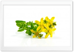 St John's Wort medicinal herb HD Wide Wallpaper for 4K UHD Widescreen desktop & smartphone