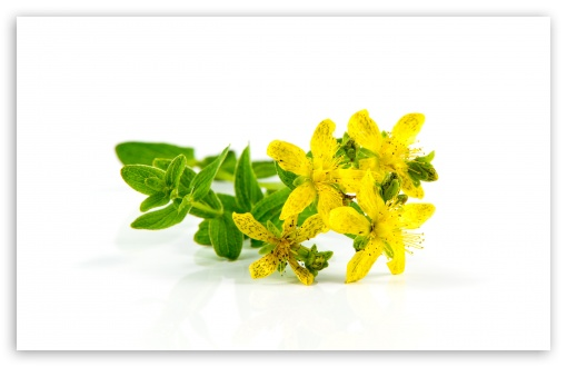 St John S Wort Medicinal Herb Ultra Hd Desktop Background Wallpaper For 4k Uhd Tv Widescreen Ultrawide Desktop Laptop Multi Display Dual Monitor Tablet Smartphone