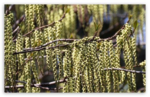 Stachyurus ❤ 4K UHD Wallpaper for Wide 16:10 5:3 Widescreen WHXGA WQXGA WUXGA WXGA WGA ; 4K UHD 16:9 Ultra High Definition 2160p 1440p 1080p 900p 720p ; Standard 4:3 5:4 3:2 Fullscreen UXGA XGA SVGA QSXGA SXGA DVGA HVGA HQVGA ( Apple PowerBook G4 iPhone 4 3G 3GS iPod Touch ) ; Smartphone 5:3 WGA ; Tablet 1:1 ; iPad 1/2/Mini ; Mobile 4:3 5:3 3:2 16:9 5:4 - UXGA XGA SVGA WGA DVGA HVGA HQVGA ( Apple PowerBook G4 iPhone 4 3G 3GS iPod Touch ) 2160p 1440p 1080p 900p 720p QSXGA SXGA ; Dual 16:10 5:3 16:9 4:3 5:4 WHXGA WQXGA WUXGA WXGA WGA 2160p 1440p 1080p 900p 720p UXGA XGA SVGA QSXGA SXGA ;