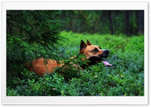 Staffordshire Terrier HD Wide Wallpaper for Widescreen