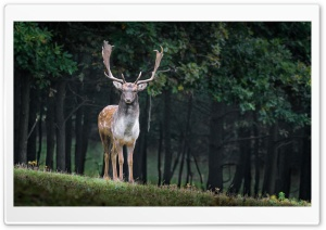Stag HD Wide Wallpaper for Widescreen