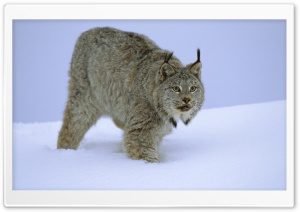 Stalking Canada Lynx Idaho HD Wide Wallpaper for 4K UHD Widescreen desktop & smartphone