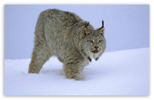 Stalking Canada Lynx Idaho HD wallpaper for Wide 16:10 5:3 Widescreen WHXGA WQXGA WUXGA WXGA WGA ; HD 16:9 High Definition WQHD QWXGA 1080p 900p 720p QHD nHD ; Standard 4:3 5:4 3:2 Fullscreen UXGA XGA SVGA QSXGA SXGA DVGA HVGA HQVGA devices ( Apple PowerBook G4 iPhone 4 3G 3GS iPod Touch ) ; Tablet 1:1 ; iPad 1/2/Mini ; Mobile 4:3 5:3 3:2 16:9 5:4 - UXGA XGA SVGA WGA DVGA HVGA HQVGA devices ( Apple PowerBook G4 iPhone 4 3G 3GS iPod Touch ) WQHD QWXGA 1080p 900p 720p QHD nHD QSXGA SXGA ;