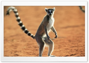 Standing Ring Tailed Lemur Berenty Reserve Madagascar HD Wide Wallpaper for Widescreen