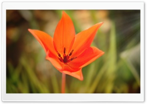 Star Like Tulip HD Wide Wallpaper for Widescreen