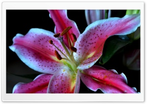 Stargazer Lily Ultra HD Wallpaper for 4K UHD Widescreen desktop, tablet & smartphone