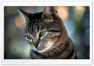 Staring Cat HD Wide Wallpaper for Widescreen