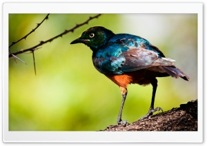 Starling Bird HD Wide Wallpaper for Widescreen