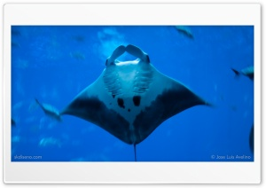 StingRay HD Wide Wallpaper for Widescreen