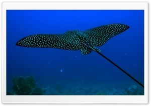 Stingray Fish HD Wide Wallpaper for Widescreen