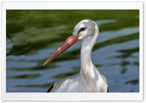 Stork HD Wide Wallpaper for 4K UHD Widescreen desktop & smartphone