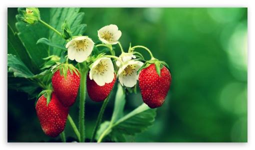 Strawberries UltraHD Wallpaper for 8K UHD TV 16:9 Ultra High Definition 2160p 1440p 1080p 900p 720p ; Mobile 16:9 - 2160p 1440p 1080p 900p 720p ;
