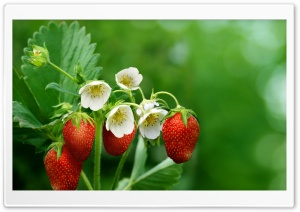 Strawberry Plant with Flowers and Fruits HD Wide Wallpaper for 4K UHD Widescreen desktop & smartphone