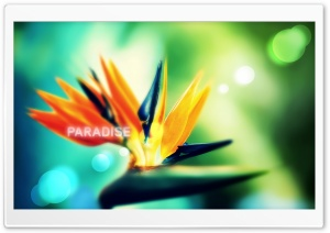 Strelitzia HD Wide Wallpaper for Widescreen