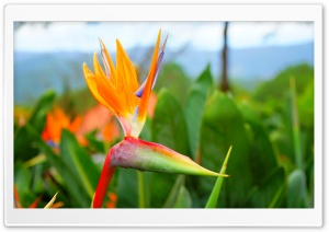 Strelitzia Reginae Flower - Thien dieu HD Wide Wallpaper for Widescreen