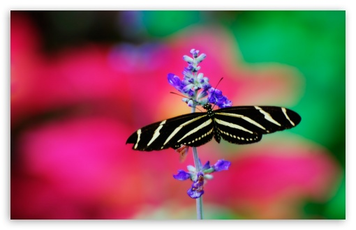 Striped Butterfly ❤ 4K UHD Wallpaper for Wide 16:10 5:3 Widescreen WHXGA WQXGA WUXGA WXGA WGA ; 4K UHD 16:9 Ultra High Definition 2160p 1440p 1080p 900p 720p ; Standard 4:3 5:4 3:2 Fullscreen UXGA XGA SVGA QSXGA SXGA DVGA HVGA HQVGA ( Apple PowerBook G4 iPhone 4 3G 3GS iPod Touch ) ; Tablet 1:1 ; iPad 1/2/Mini ; Mobile 4:3 5:3 3:2 16:9 5:4 - UXGA XGA SVGA WGA DVGA HVGA HQVGA ( Apple PowerBook G4 iPhone 4 3G 3GS iPod Touch ) 2160p 1440p 1080p 900p 720p QSXGA SXGA ; Dual 16:10 5:3 16:9 4:3 5:4 WHXGA WQXGA WUXGA WXGA WGA 2160p 1440p 1080p 900p 720p UXGA XGA SVGA QSXGA SXGA ;