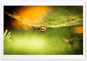 Striped Spider HD Wide Wallpaper for Widescreen