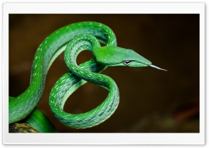 Stunning Green Vine Snake, Ahaetulla Prasina Macro HD Wide Wallpaper for 4K UHD Widescreen desktop & smartphone