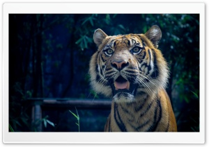 Sumatran Tiger HD Wide Wallpaper for Widescreen