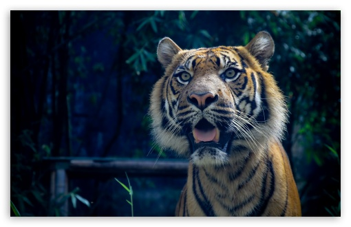 Sumatran Tiger ❤ 4K UHD Wallpaper for Wide 16:10 5:3 Widescreen WHXGA WQXGA WUXGA WXGA WGA ; 4K UHD 16:9 Ultra High Definition 2160p 1440p 1080p 900p 720p ; UHD 16:9 2160p 1440p 1080p 900p 720p ; Standard 4:3 5:4 3:2 Fullscreen UXGA XGA SVGA QSXGA SXGA DVGA HVGA HQVGA ( Apple PowerBook G4 iPhone 4 3G 3GS iPod Touch ) ; Tablet 1:1 ; iPad 1/2/Mini ; Mobile 4:3 5:3 3:2 16:9 5:4 - UXGA XGA SVGA WGA DVGA HVGA HQVGA ( Apple PowerBook G4 iPhone 4 3G 3GS iPod Touch ) 2160p 1440p 1080p 900p 720p QSXGA SXGA ;