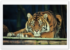 Sumatran Tiger Ultra HD Wallpaper for 4K UHD Widescreen desktop, tablet & smartphone