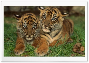 Sumatran Tiger Cubs HD Wide Wallpaper for 4K UHD Widescreen desktop & smartphone