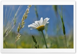 Summer Daisy HD Wide Wallpaper for Widescreen