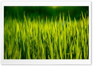 Summer Grass Macro HD Wide Wallpaper for Widescreen