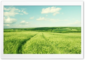 Summer Green Wheat Field HD Wide Wallpaper for 4K UHD Widescreen desktop & smartphone