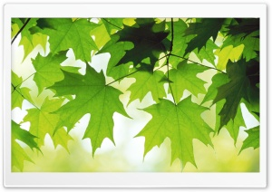 Summer Leaves HD Wide Wallpaper for 4K UHD Widescreen desktop & smartphone