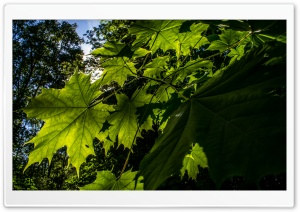 Summer leaves. HD Wide Wallpaper for Widescreen